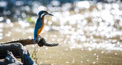 Een ijsvogel die vis vangt in de rivier