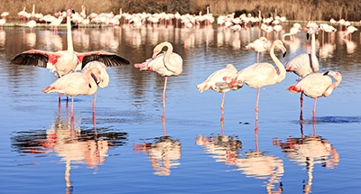 Roze flamingo's in Camargue