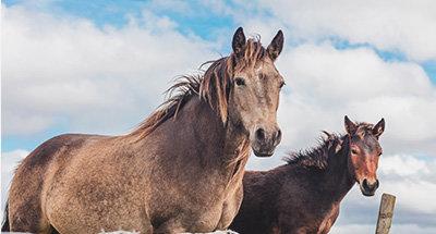 Ierse paarden