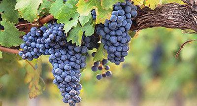 Wijngaarden in Aquitanië